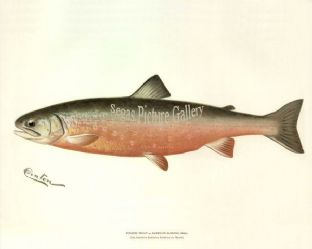 Trout, Sunapee or American Saibling (Male)